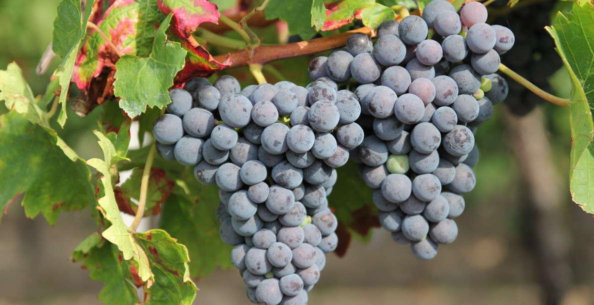 Rote Weintrauben in der Pfalz
