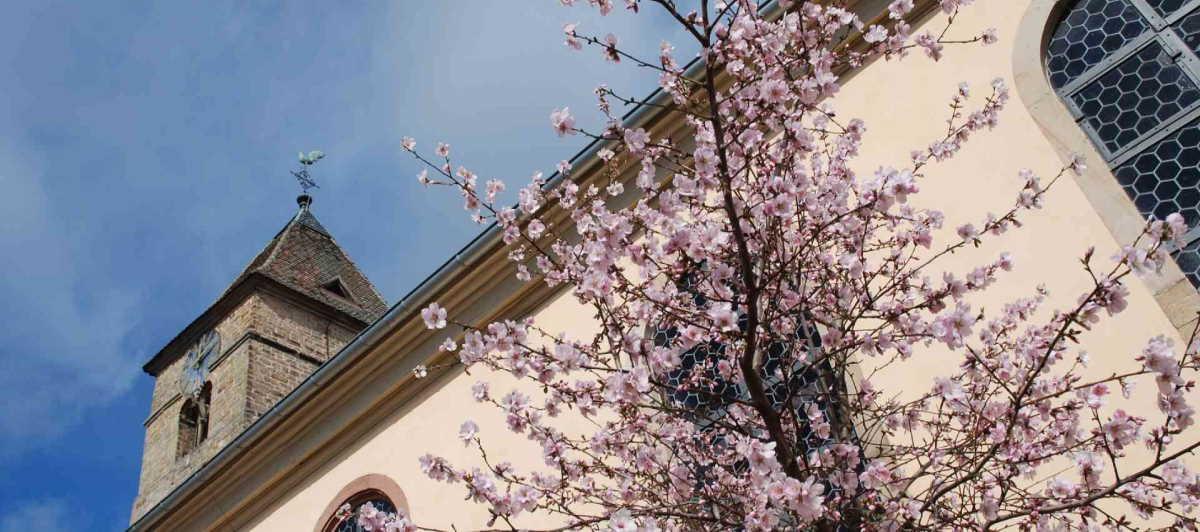 Mandelblüten vor der Laurentiuskirche in Gimmeldingen