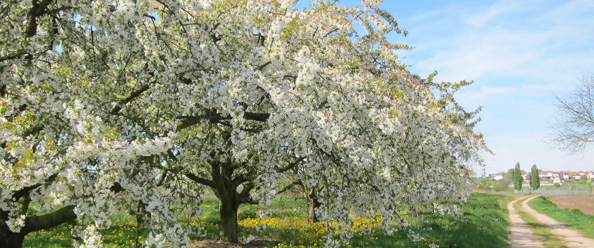 Alte Kirschbäume bei Freinsheim